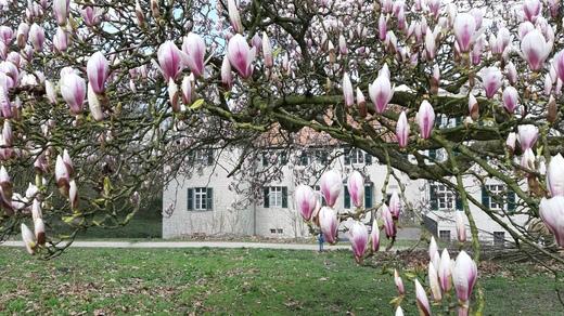 Der Frühling ist da! Magnolienblüte am Haus Dellwig