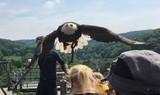 Weißkopfseeadler im Anflug Adlerwarte Berlebeck