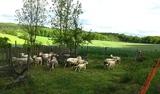 20.05.2017 Von Beyenburg nach Breckerfeld - Schafe, die ihr Winterfell von selbst verlieren