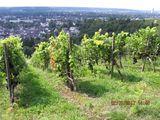 02.09.17  Weinberge im Rheintal