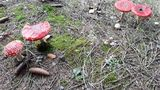 12.10.2019 Schöne, aber giftige Pilze am Wegesrand.
