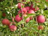 Bild 10 herrliche Äpfel in den Apfelplantagen am Wiiwegli
