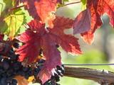 Bild 13 herrliches Weinlaub mit Reben am Wanderweg