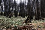 23.03.2021: Die Märzenbecher (auch Frühlingsknoten-Blume genannt) im Naturschutzgebiet Herveler Bruch stehen wieder voll in Blüte.