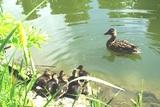03 Mama gibt den Küken Schwimmunterricht