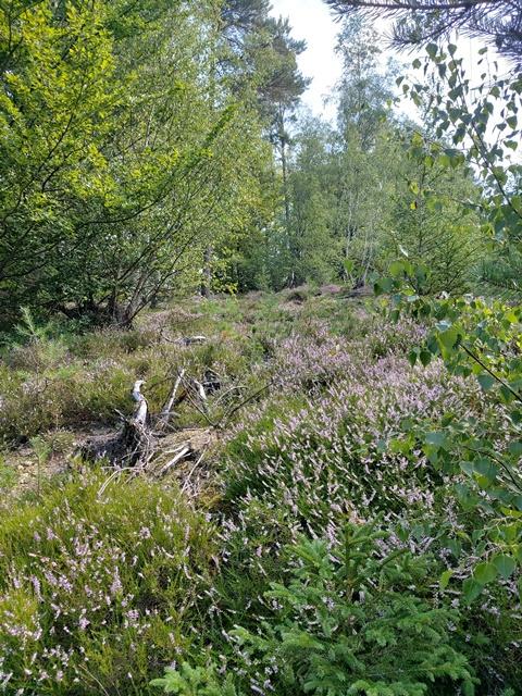 Heidelandschaft im Sauerland